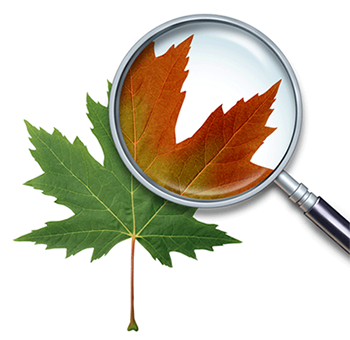 maple leaf and magnifying glass