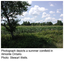 Photograph depicts a summer cornfield in Almonte Ontario. Photo: Stewart Wells.